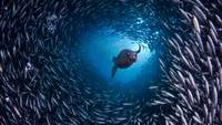 Galapagos Sea Lion Swims Through School of Fish