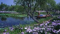 Japanese Boat Passes Irises On The River