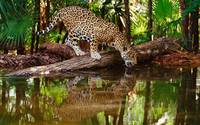 Jaguar At The River, South America
