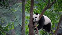 Lazy Panda Bear In A Tree, China