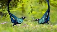 Long Tailed Glossy Starling Birds