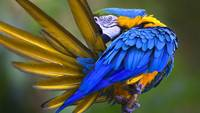 Blue Macaw Bird Cleans His Feathers