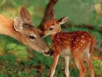 Mother Deer and Her Baby Fawn, Mother's Love