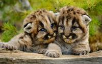 Mountain Lion Cubs, Bozeman, Montana,USA
