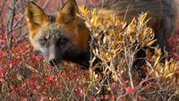 Red Fox In Canada