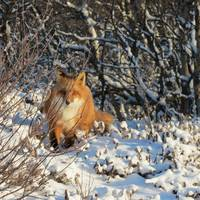 Red Fox Badly Camouflaged In The Snow