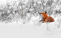Red Fox In The Snow Near Manitoba, Canada