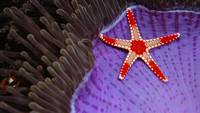 Sea Star On A Sea Anemone, Malaysia