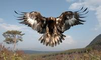 Soaring Golden Eagle