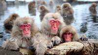 Snow Monkeys, Nagano, Japan