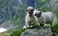 Valais Blacknose Sheep in Switzerland