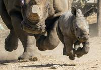 Baby White Rhinoceros Runs With Her Mother