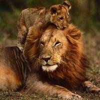 Happy Fathers Day Daddy Lion and Lion Cub