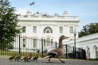 White House A Duck and her Ducklings