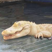 Rare Albino Alligator Named Pearl