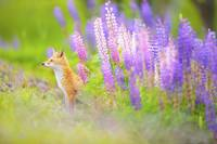 Red Fox In Purple Wildflowers