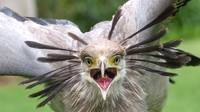 Secretary Bird Squawking