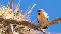 Sociable Weaver Bird