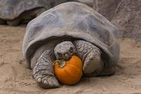 Turtle and A Pumpkin