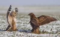 Two Crowned Eagles Fighting in Snow