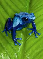Two Shades of Blue Poison Frog