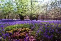 Woodland carpet of bluebells in Spring