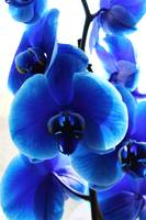 Blue orchids portrait