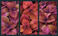 Coleus Collage
