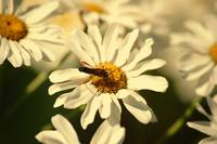 Longhorn beetle on daisies