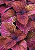 Coleus Color