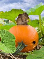 Chipmunk In Pumpkin Patch