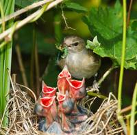 Baby Birds Fed By Mama