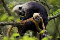 A White Headed Langur Monkey Grooms A Not So Happy
