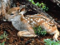 Baby White Spotted Fawn Deer