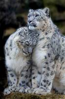 Cute Snow Leopards Cuddle