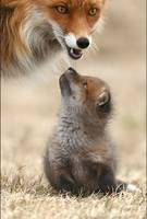 Mom Red Fox With Her Cub