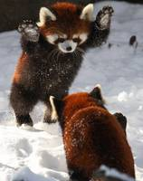 Red Panda Bears Play In The Snow, Australia
