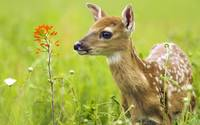 White Spotted Fawn Deer