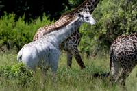 White Giraffe Calf With Mother, Africa