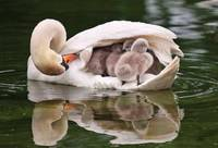 White Swan Babies Take Cover Under Moms Wings
