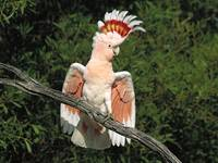 Galah Cockatoo Bird