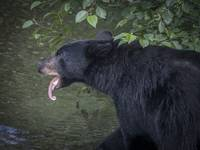 Black Bear Sticking Out Tongue