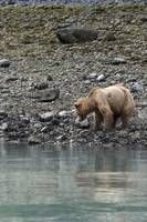 Brown Bear Reflection, Muir Inlet, Glacier Bay