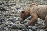 Brown Bear on Beach, Glacier Bay, Alaska