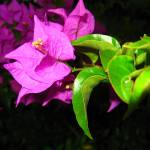 """Bougainvillea Flower"" by RODADOD"
