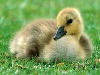 Yellow Baby Duckling