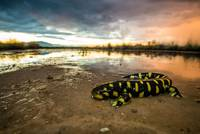 Barred Tiger Salamander On The Beach