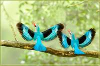 Beautiful Blue Birds