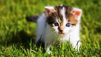 Blue Eyed Kitten In The Grass