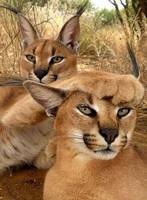 Caracal Cats Play